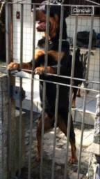 Rottweiler com Pedigree 2 fêmeas altamente selecionada