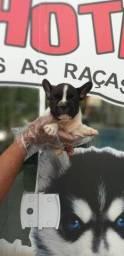 Bulldog Francês com garantias em contrato, o mais seguro