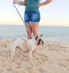 Bulldog francês jovem 1ano e 9 meses