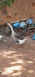 Animal  ganço africano