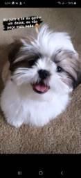 Quero comprar um filhote de poodle original