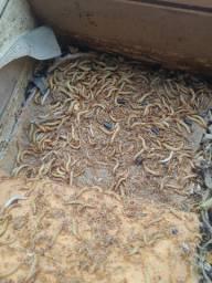 tenebras larvas