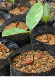Muda Frutífera de Cupuaçu