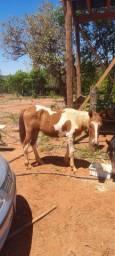 Vendo cavalo de 11 meses mangalarga