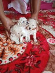 Cachorro poodle toy macho sao puros