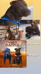 Cachorro pitmonster PURO