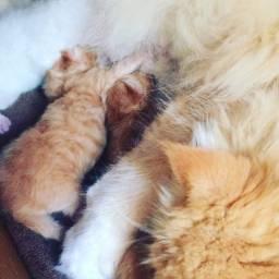 Vendo filhote gato persa do himalaia