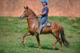 Cavalo Mangalarga Marchador (Futuro do Pinhão Roxo)