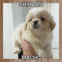 Shihtzu macho bb com 45 dias