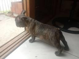 Machinho de bulldog frances / com pedigree