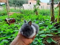 Mini coelhos Lions head vary