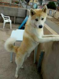 Vendo o cachorro Akita pois moro em ap não tá dando para criar