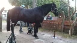 Vendo cavalo puro
