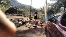Vendo cabeças de aves