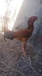 Índio Gigante Ovos e Pintinhos