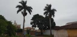 Palmeira imperial 3 unidades