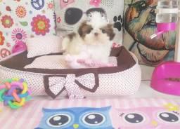 Shih Tzu Shitzu filhotes mini para apartamento promoção