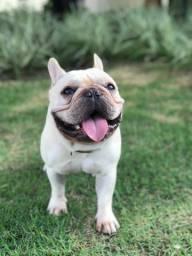 Bulldog Francês - Procura Namorada