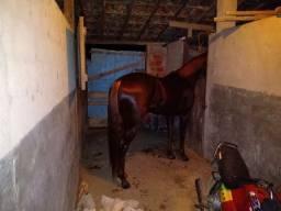 Cavalo mestiço de quarto de milha.