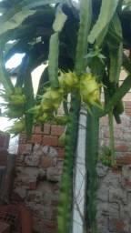 Vendo mudas de pitaya tanto ja produzindo como mudas pequenas.