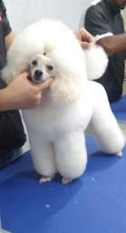 Poodle toy disponível para reserva