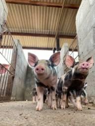 Leitões / Porcos