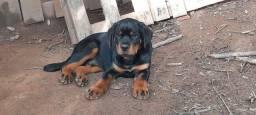 Rottweiler pedigree cbkc