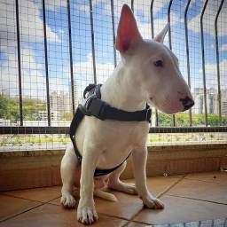 Cachorro da Raça Bull Terrie Ingles