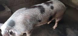 Porcos em ponto para o abate.