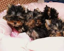 Yorkshire Terrier macho Filhote Micro *Vacinado *Garantia *Pedigree