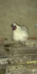 Galo sedoso do Japão e galinha do Japão