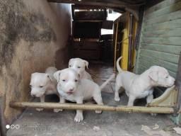 Filhotes de Cachorro pitbull monster