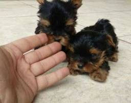 Lindos yorkshire mini com pedigree opsinal