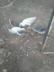 Vendo esses 3 filhotes de Gansos