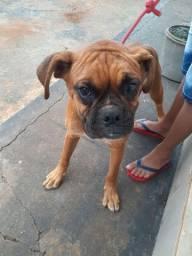 Linda cadela boxer com 5 meses de idade,alto padrão genético.