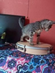 Adoção gato macho 2 meses