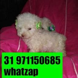 Mini ótima companhia poodle micro legítimo