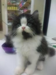 Gato persa (Camaçari)