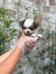 Chihuahua pelagem longa e curta, suporte vet gratuito! * Alexandre