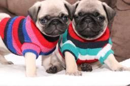 PUG Restam duas fêmeas com pedigree FOTOS REAIS