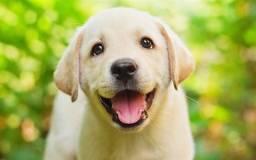 Labrador filhote disponível