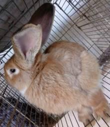 Vendo coelho amarelo reprodutor
