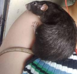 Ratinho raça Twister