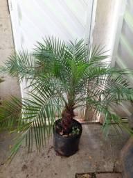 Palmeira Fênix lindíssima