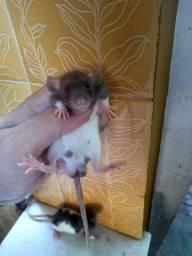 Rato Twister filhotes