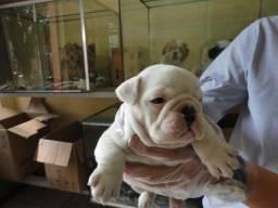 Bulldog Inglês diversas cores, com garantias e suporte vet! * Alexandre