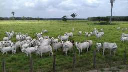 8 milhões área total 1.000 hequitares com 800 equitares de pasto, Mombaça e braquiarao