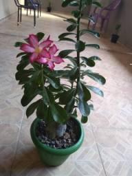 Rosa do deserto 40 reais