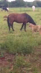 Casal de pônei poney ponei