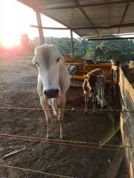 Vendo vaca leiteira + bezerra